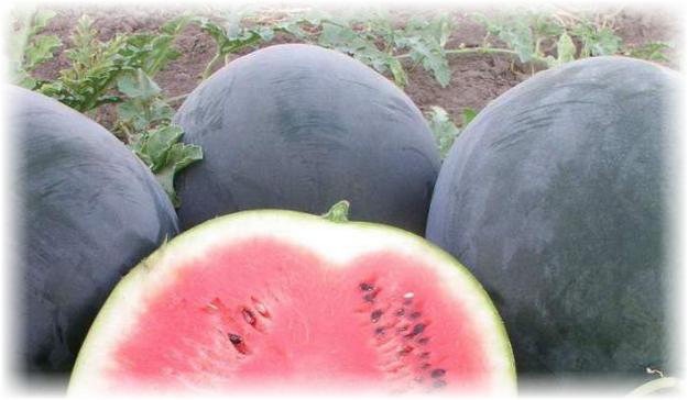 выращивание черного арбуза