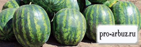 Правила выращивания арбуза Соренто F1
