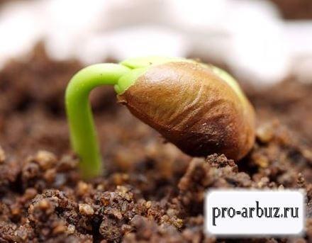 Всхожесть семян арбуза