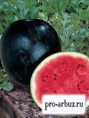 Выращивание арбуза Огонек