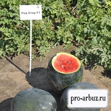 Выращивание арбуза Ред Стар F1