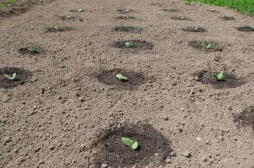семена арбузов в грунт