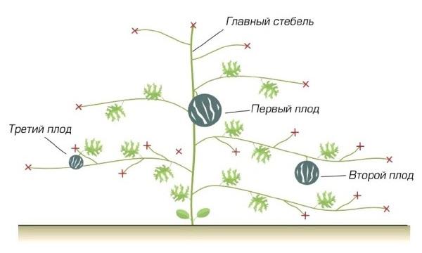 формирование куста арбузов в средней полосе России