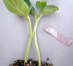 арбуз на лагенарию язычком