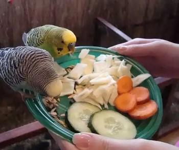 овощи для попугая