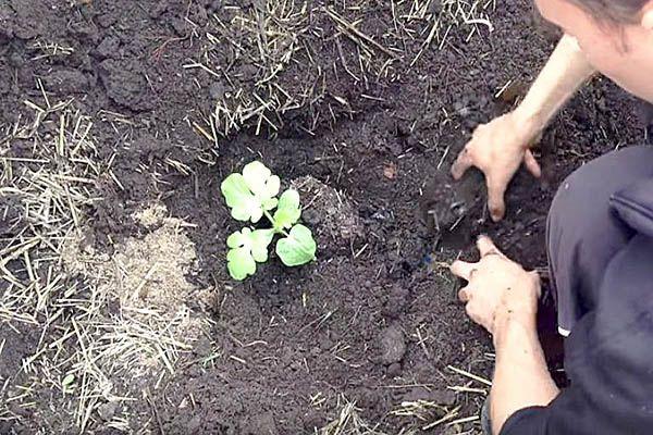 высаживание рассады квадратного арбуза