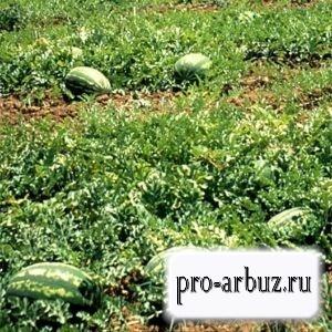 Главные особенности выращивания арбуза Думара F1
