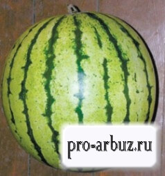 Как выращивать арбуз Быковский