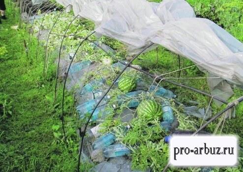 Схема посадки арбузов под пленкой
