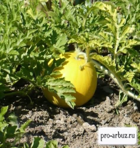 Урожай арбуз Подарок солнца
