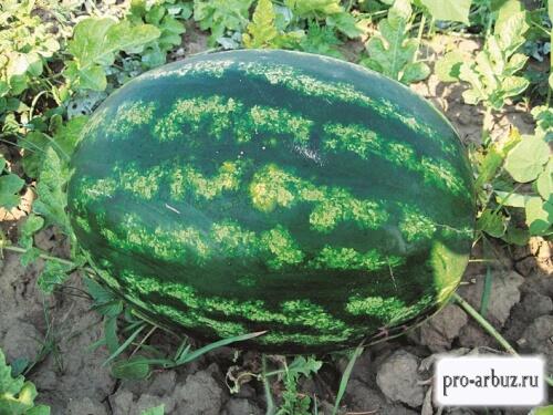 Выращивание Астраханского арбуза