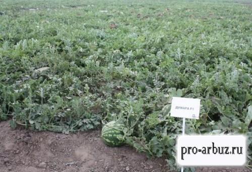 Выращивание арбуза Думара F1