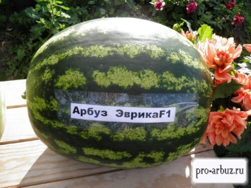 Выращивание арбуза Эврика F1