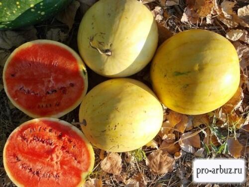 Выращивание арбуза Подарок солнца