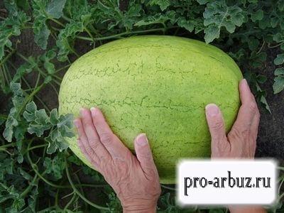 Выращивание арбуза Рафинад