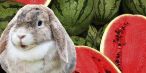Арбузные корки, мякоть и семечки в кроличьем рационе