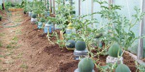 Арбузы в теплице: как получить небывалый урожай полосатой ягоды
