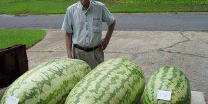 Самые большие арбузы в мире - разбираемся в вопросах арбузной гигантомании.