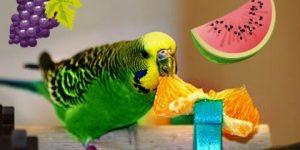 Арбузное меню для волнистого попугая