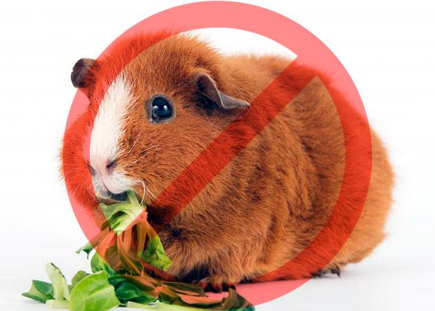 чего нельзя давать морским свинкам