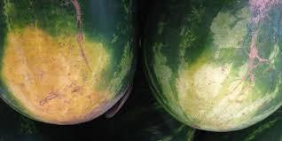 выбираем спелый арбуз
