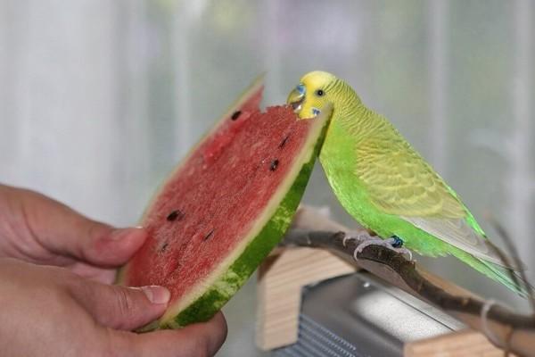 арбуз для волнистого попугая