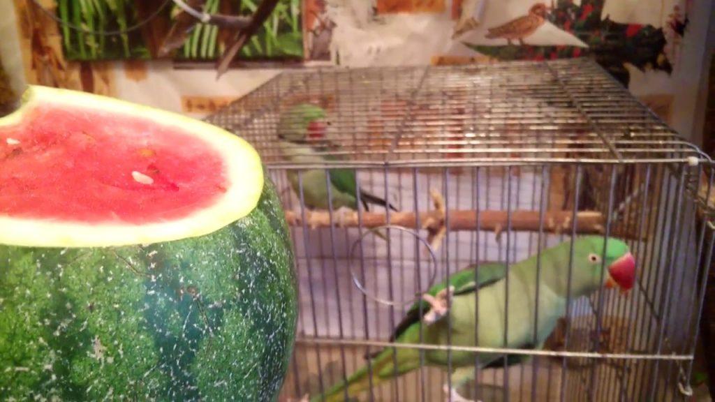 арбуз для вонистых попугаев