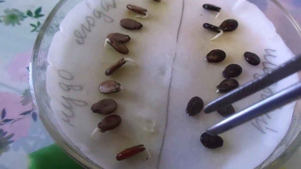 семена арбуза на рассаду