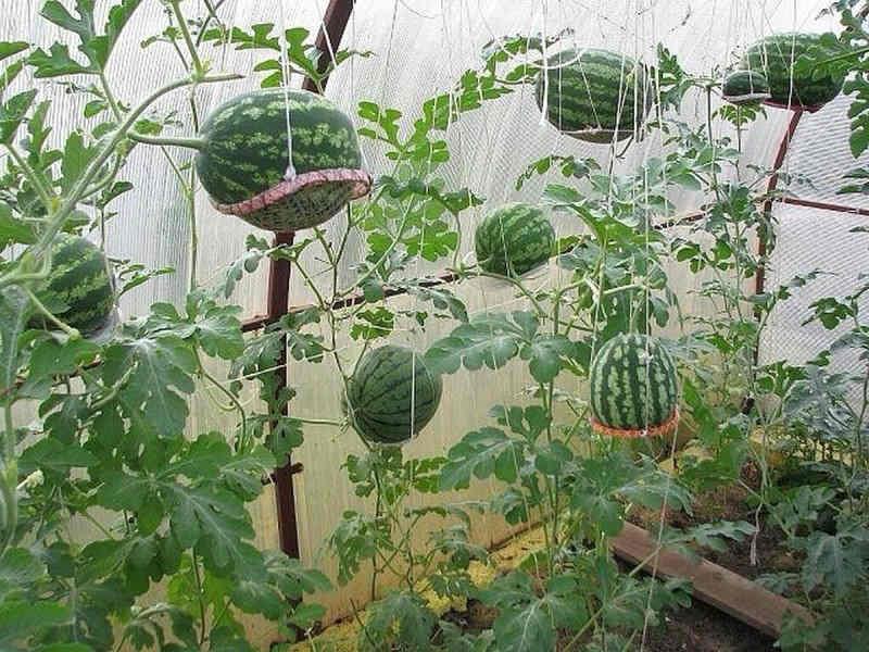 как вырастить арбуз в сетке