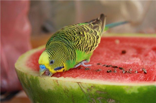 можно ли арбуз волнистому попугаю