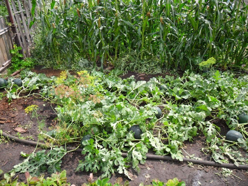 защита арбузов кукурузой